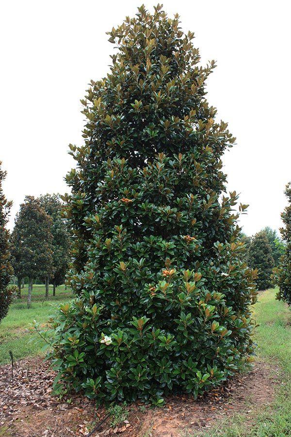 Magnolia Claudia Wannamaker Google Search Landscape Magnolia Trees Flowering Trees Garden Trees