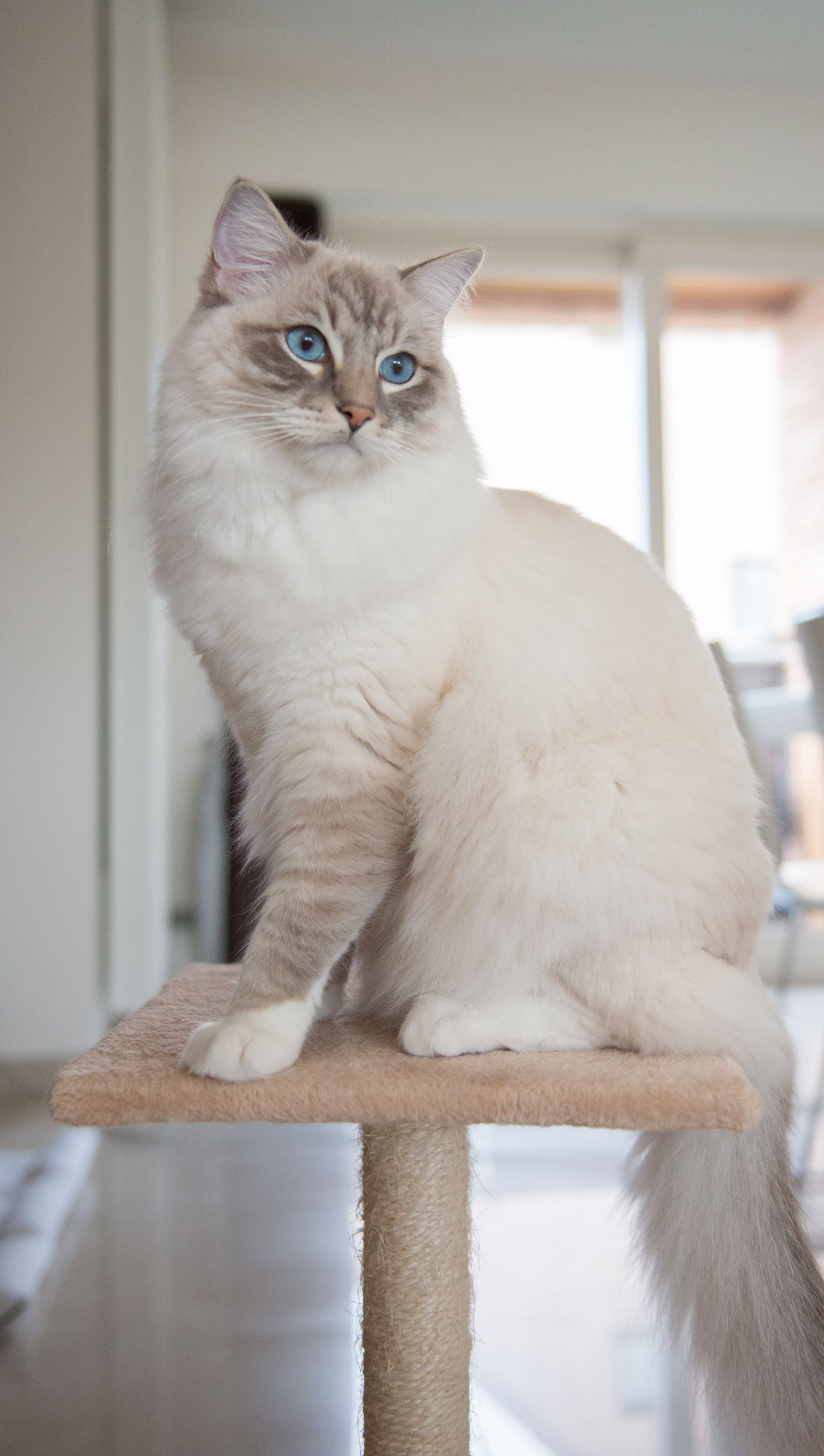 Ragdoll Casper, posing on a Sunday morning.