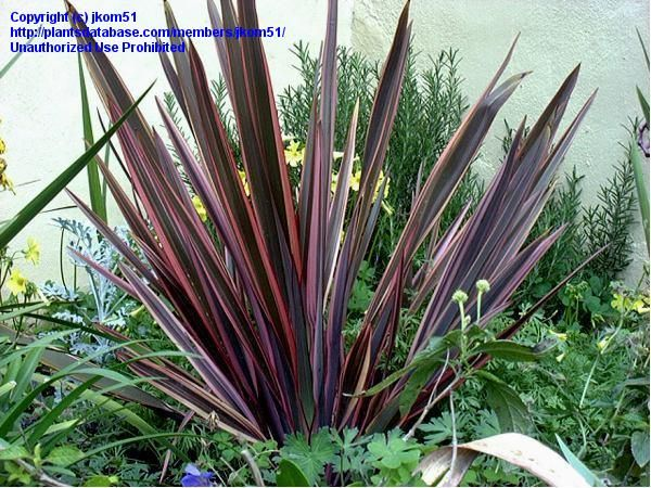 Plantfiles Pictures New Zealand Flax Sundowner Phormium Tenax 1 By Jkom51 New Zealand Flax Garden Plants Design Lush Lawn