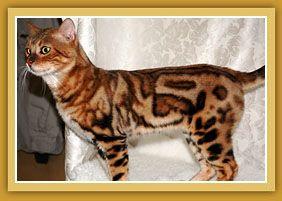Sierra Gold Bengals Silver Bengal Cat Bengal Cat Marble Bengal Cat