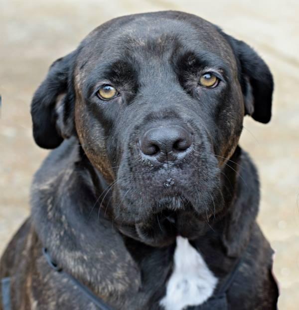 Adopt Gracie Lynne On Petfinder Mastiff Puppies Mastiffs