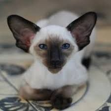 seal point wedge head siamese  cat spirit animal cat