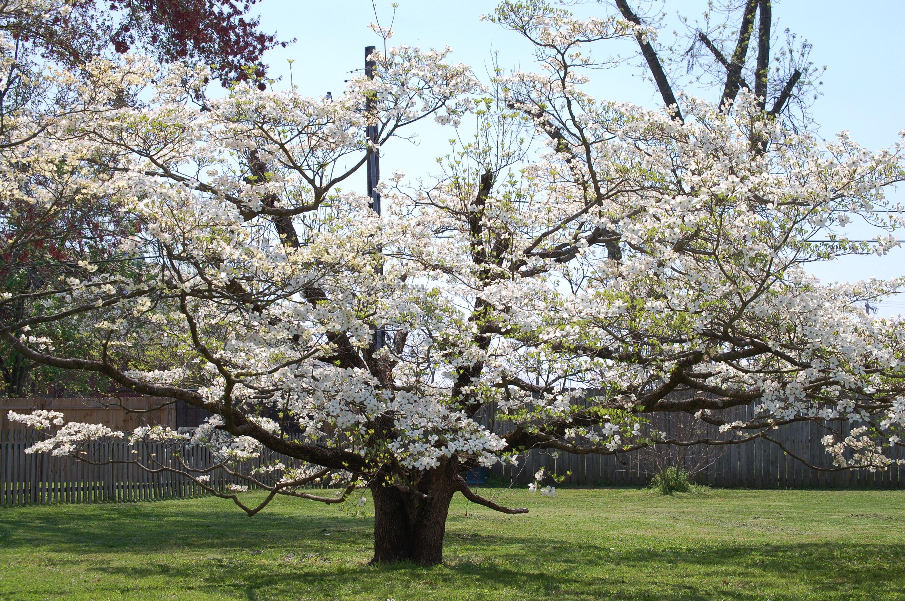 Giant Magnolia Tree In Charleston Missouri Flowers Trees And