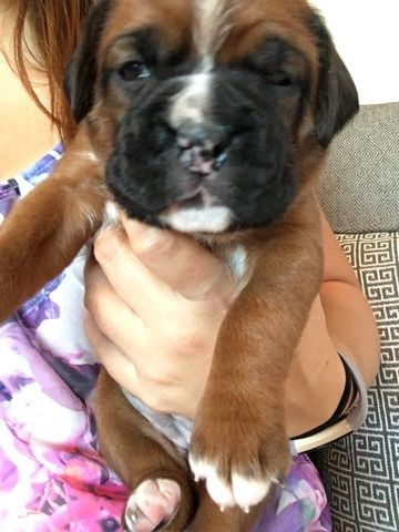 Boxer puppy for sale in INDIANAPOLIS, IN. ADN47705 on