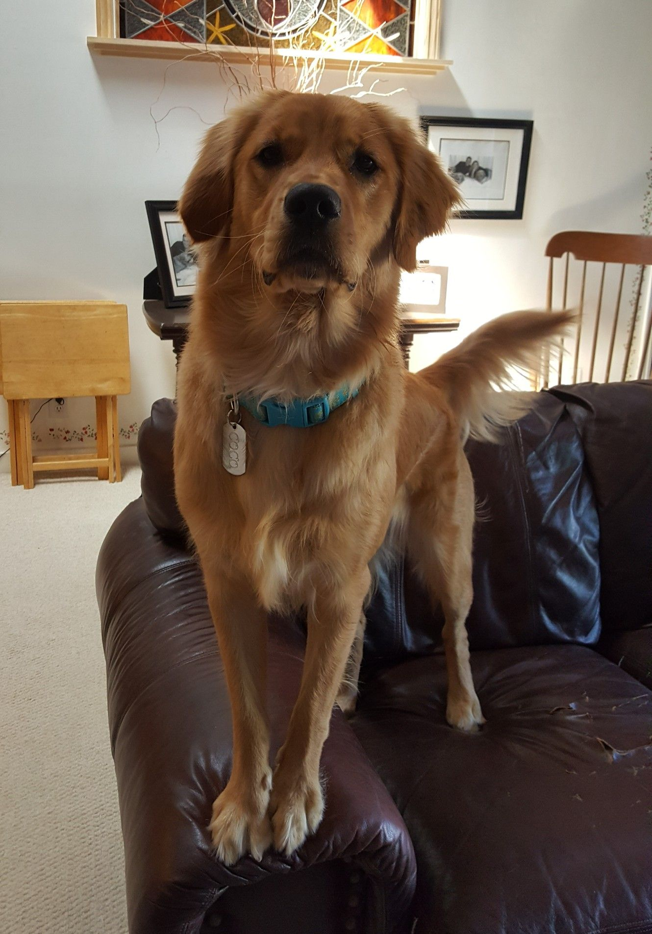 Coco 10 Month Old Golden Retriever She Is So Spoiled Old