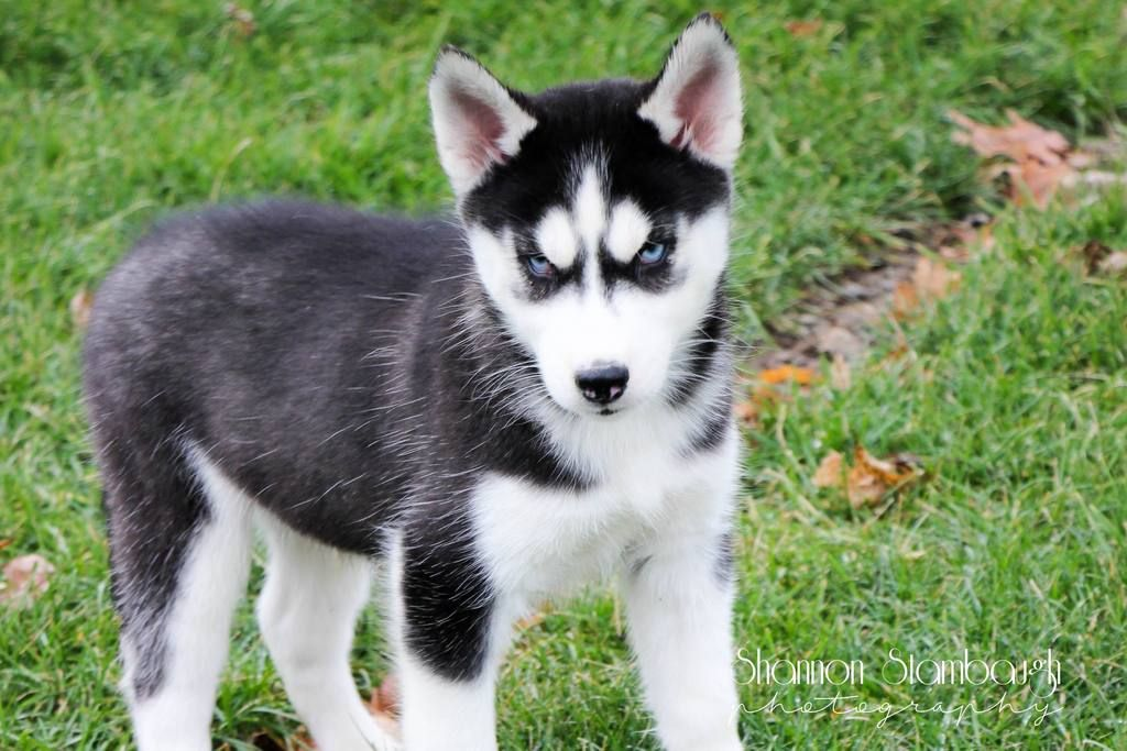 Pete Male Siberian Husky 475 Husky Puppies For Sale Husky