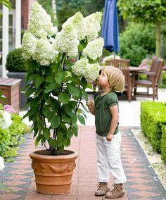 Kletterpflanze Halbschattig rispenhortensie magical moonlight 150 300cm hoch sonnig