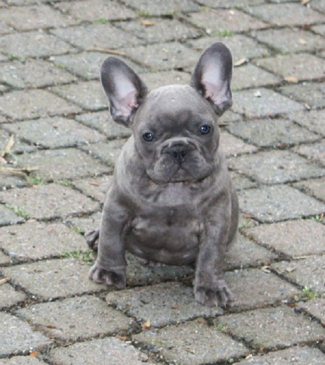 Franzosische Bulldogge Blue Water Sky Franzosische Bulldogge Bulldogge Hunde