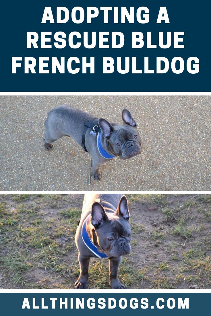 Blue French Bulldog Rescue French Bulldog Rescue French Bulldog Blue French Bulldog Rescue Network