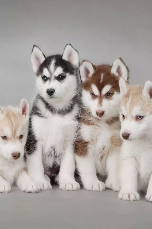Blonde,black, and red husky puppies