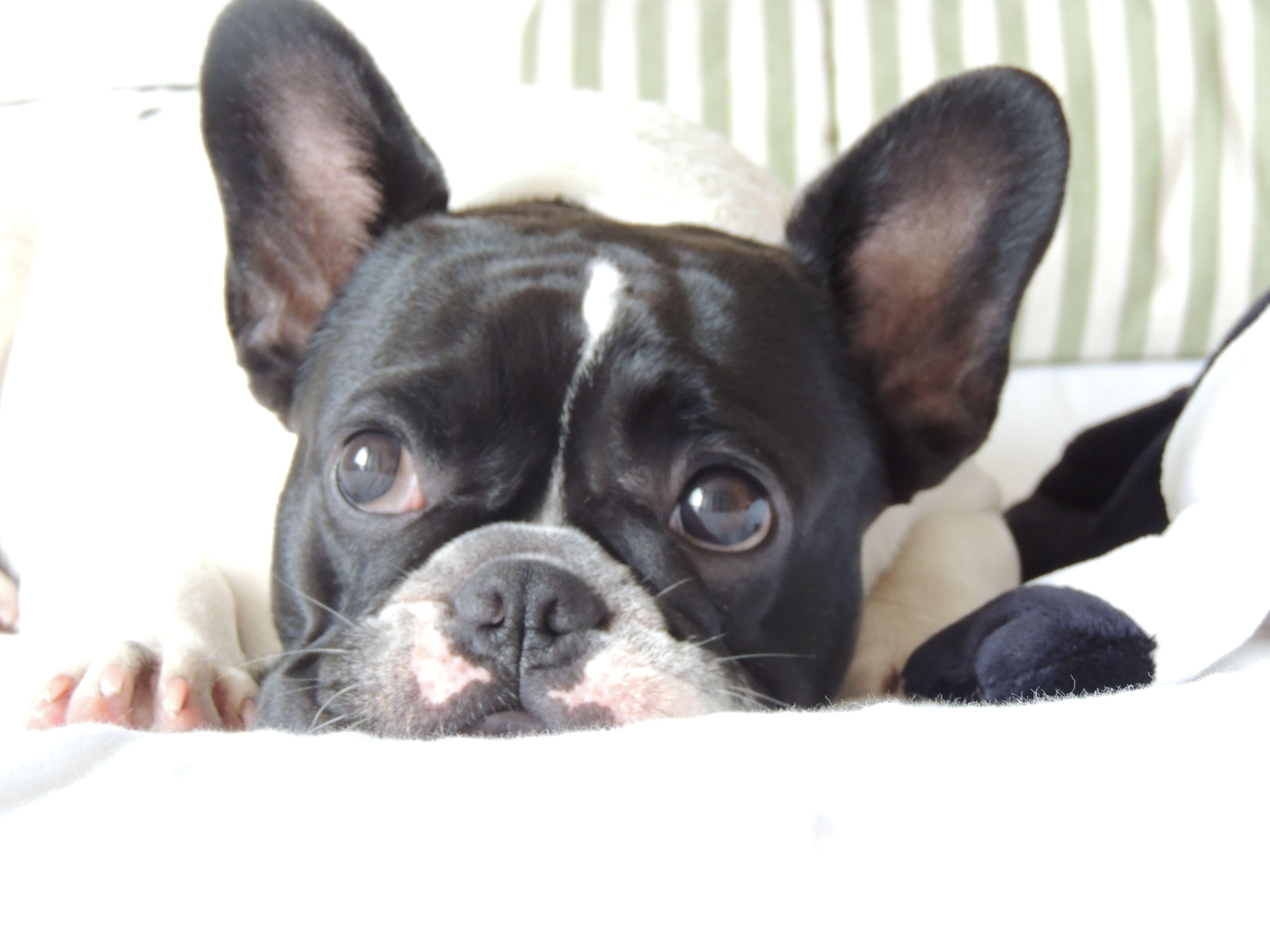 French Bulldog Puppy Ii M Dicar Sophia Paschoarelli Pegabem
