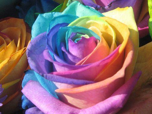 اجمل وردة في العالم الورد بجماله Rainbow Roses Beautiful Roses Beautiful Flowers