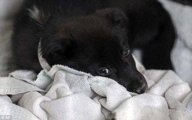 Four of the rescued Dogs were being treated for respiratory illnesses in a sick room,including a Cute Puppy that slept in a tiny ball at the back of her Kennel