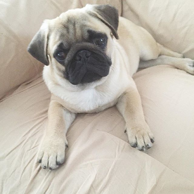 Couch Camouflage Weekend Countdown Is On Pugs Pug Puppy