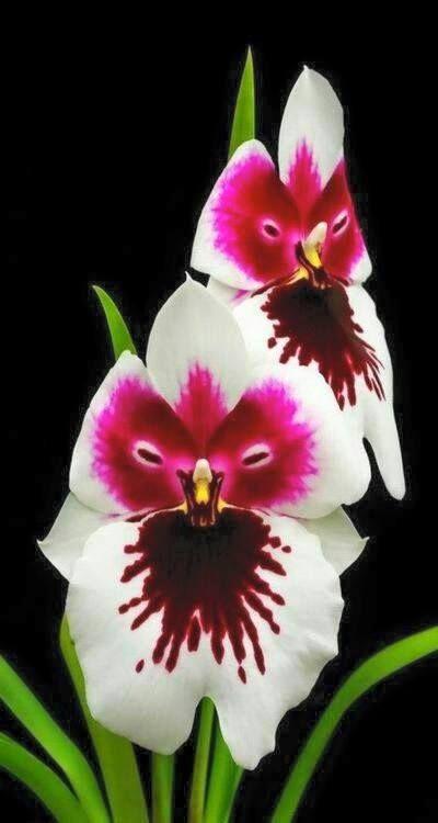 Orchid Talaqie Channel Orchideen Schone Blumen Orchideenarten