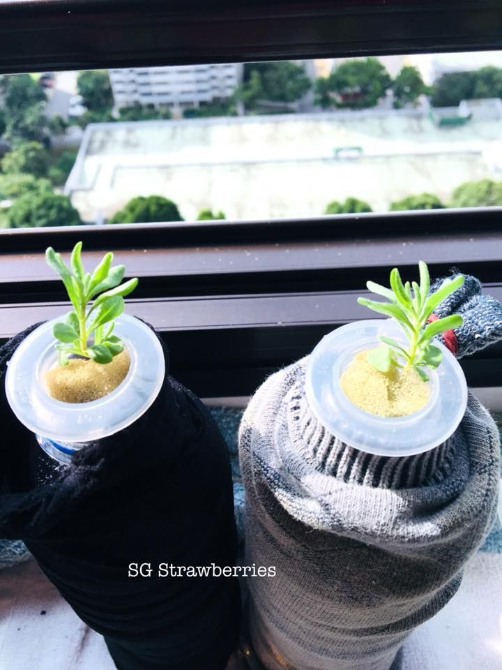 For lavender fans growing strawberries and other cool