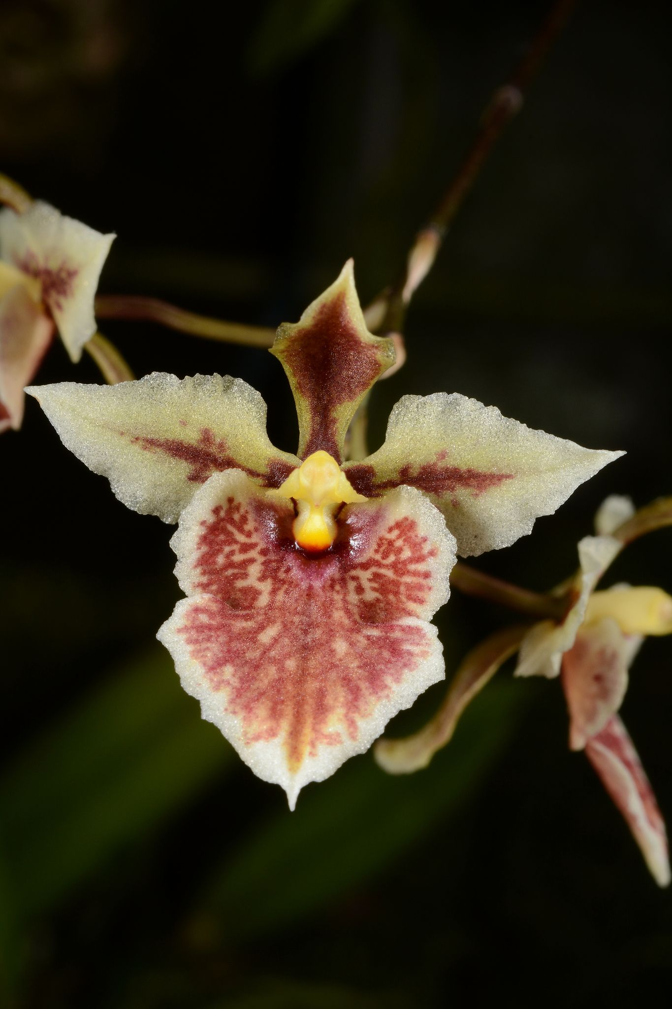 Tolumnia triquetra triquetra orchid and flowers