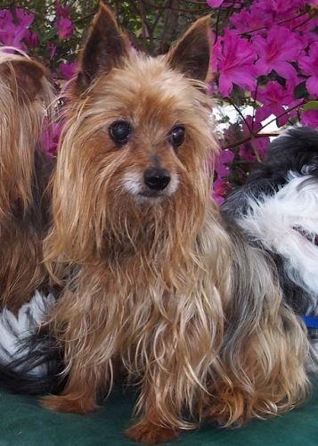 Adopt Winston On Petfinder Yorkie Yorkie Puppy Calm Dogs