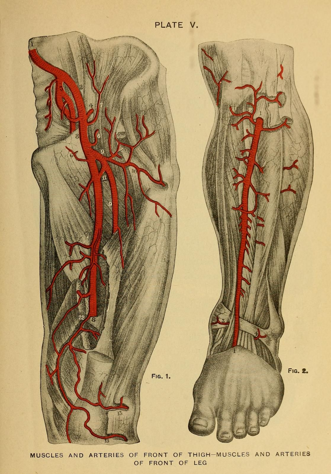 Plate V. Muscles and arteries of front of thigh - Muscles and ...
