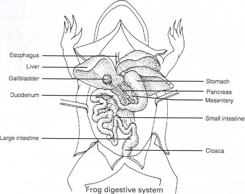 Frog Dissection Diagram 824 X 652 56 Kb Jpeg Frog Frog