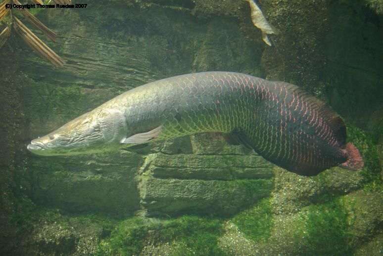 the arapaima fish is also known as the pirarucu and is
