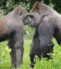 With Gorilla woman mating