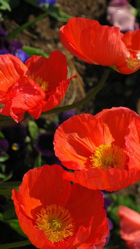 Papaver nudicale | by dicentra33