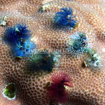 Saltwater Aquarium Inverts For Marine Reef Aquariums Christmas Tree Worm On Rock Multicolor Saltwater Aquarium Aquarium Pictures Saltwater Tank