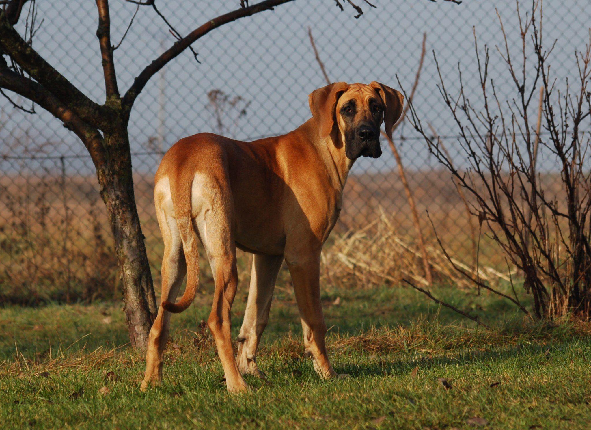 Deutsche Dogge Hunderassen Hunde Hunde Rassen