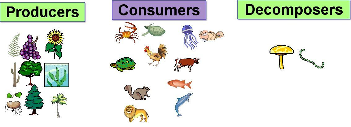 some parts of the food chain producers consumers decomposers