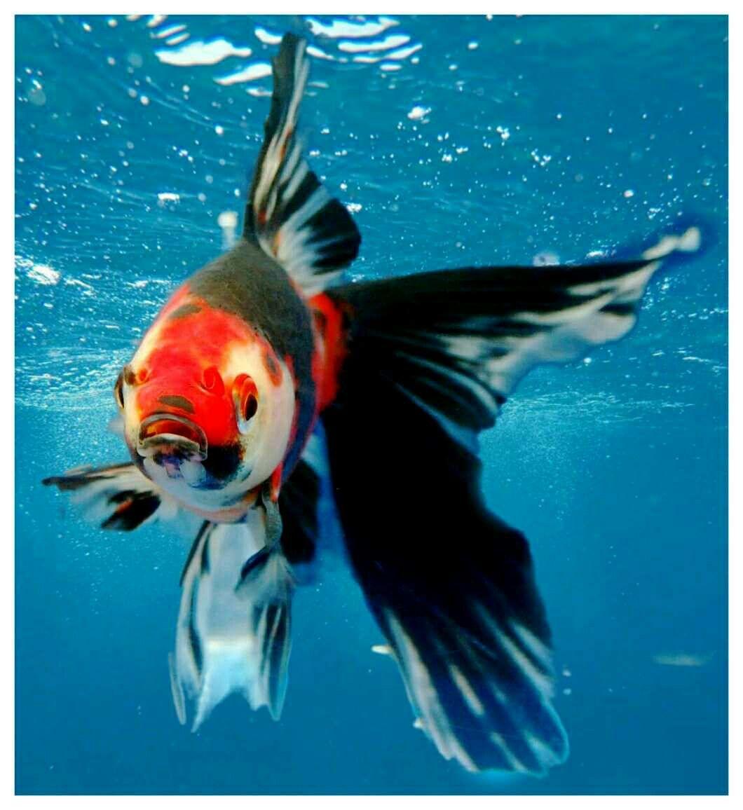 Beautiful Goldfish Edited By Loulou Fish Ponds Fresh Water Fish Tank Fish Aquarium Decorations
