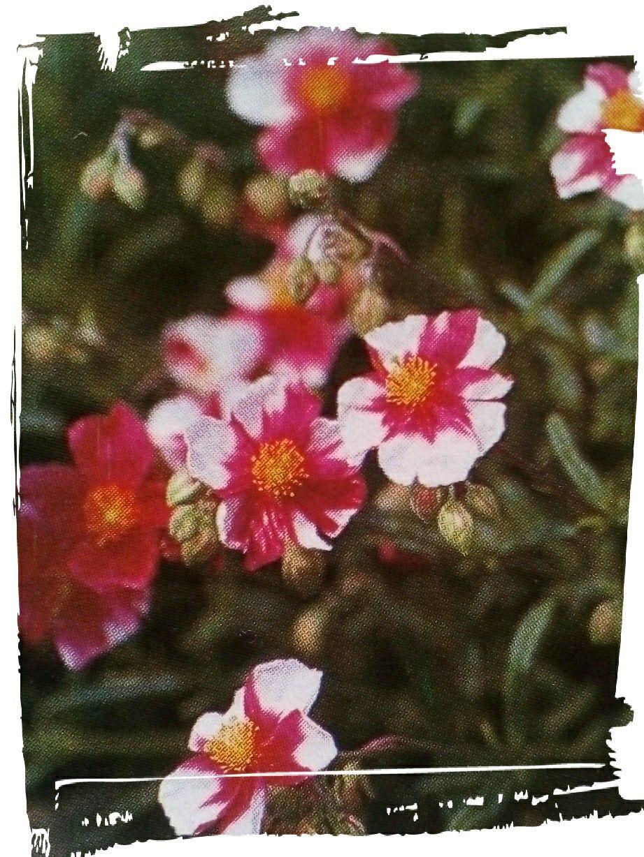 "Helianthemum ""Raspberry Ripple"""