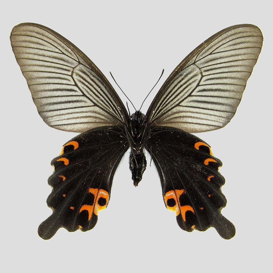 クロアゲハ 標本画像 クロアゲハ 対馬 蝶