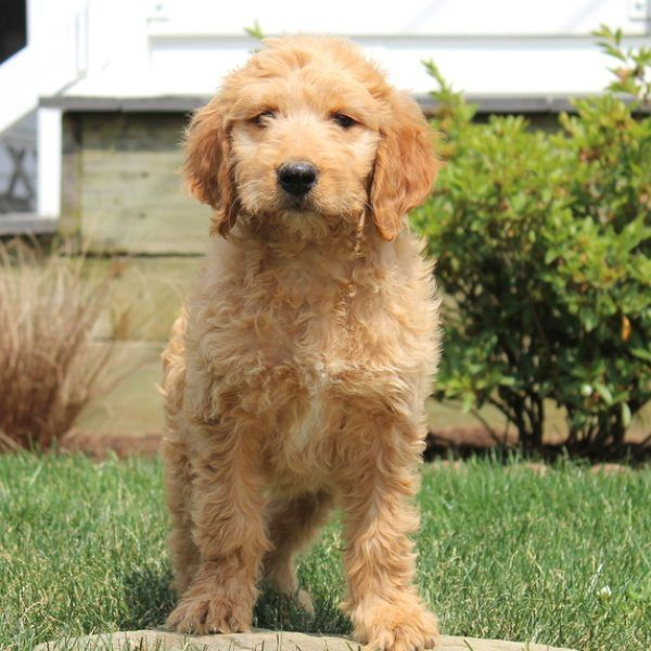 Rex Goldendoodle Puppy For Sale In Pennsylvania Goldendoodle