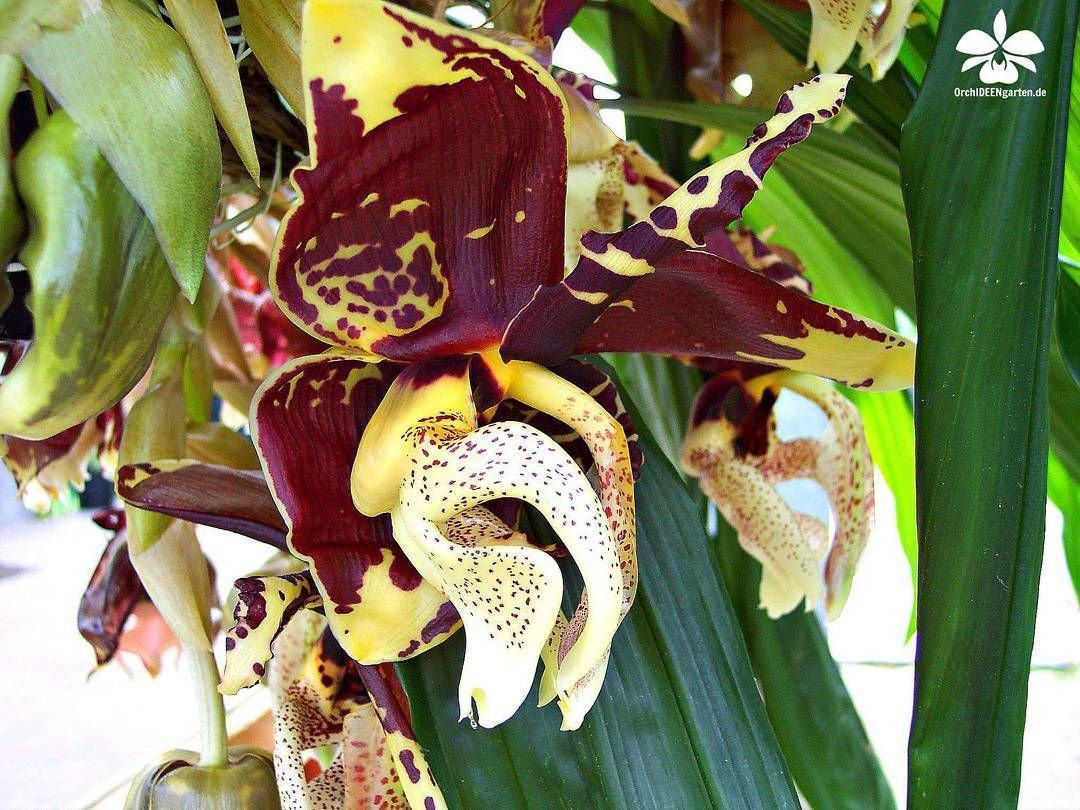 Stanhopea tigrina orchideen orchidee orchideengarten orchid