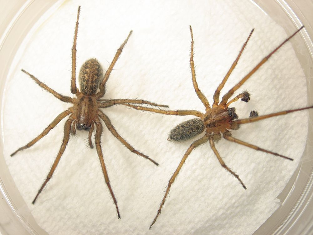 image for grass spider vs hobo spider who are the