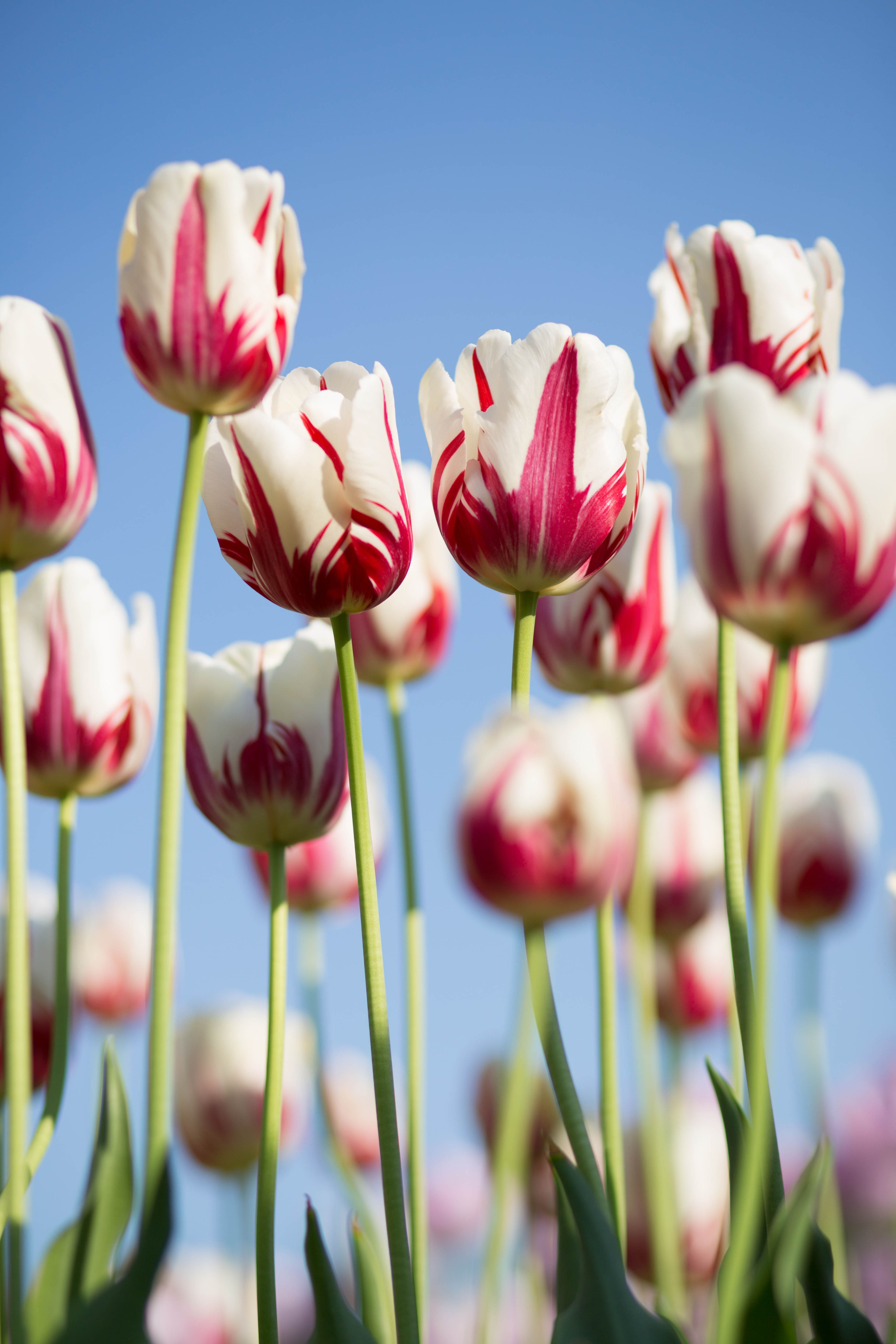 Tulip, flower, pink and white HD photo by Kwang