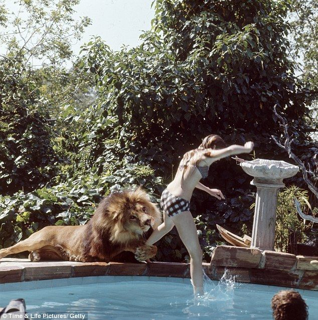 Griffith, aged just 14, leaps into the swimming pool in her Sherman Oaks, Los Angeles, home as she playfights with her enormous pet lion, Neil