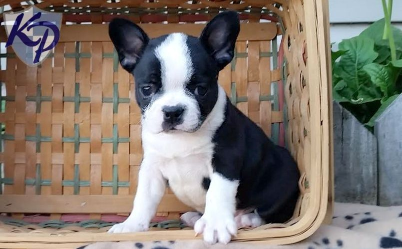 Frenchton Puppies For Sale Frenchton Dog Puppies French