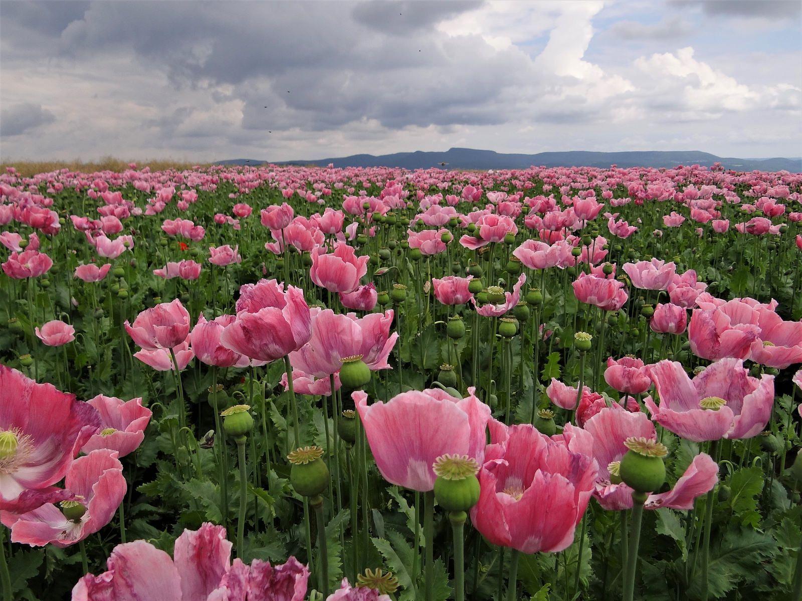 Rosa Mohn Feld Mohn Blumen Rosa