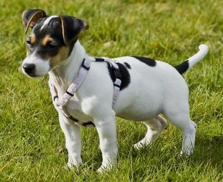 Rat Terrier Dogs Rat Terriers