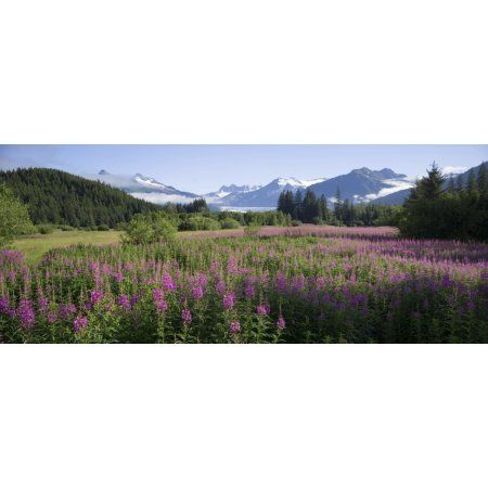 Field Of Fireweed With Coast Mountains And Mendenall Glacier In Background Near Juneau Alaska In The Summer Canvas Art - John Hyde Design Pics (21 x 8)