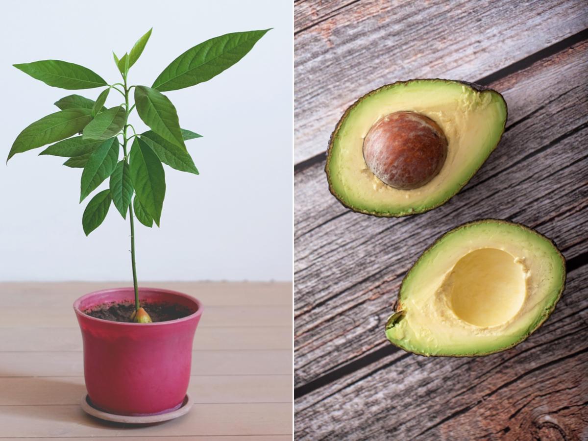 How To Grow An Avocado Tree At Home Myrecipes In 2020 Grow Avocado Growing An Avocado Tree Avocado Tree
