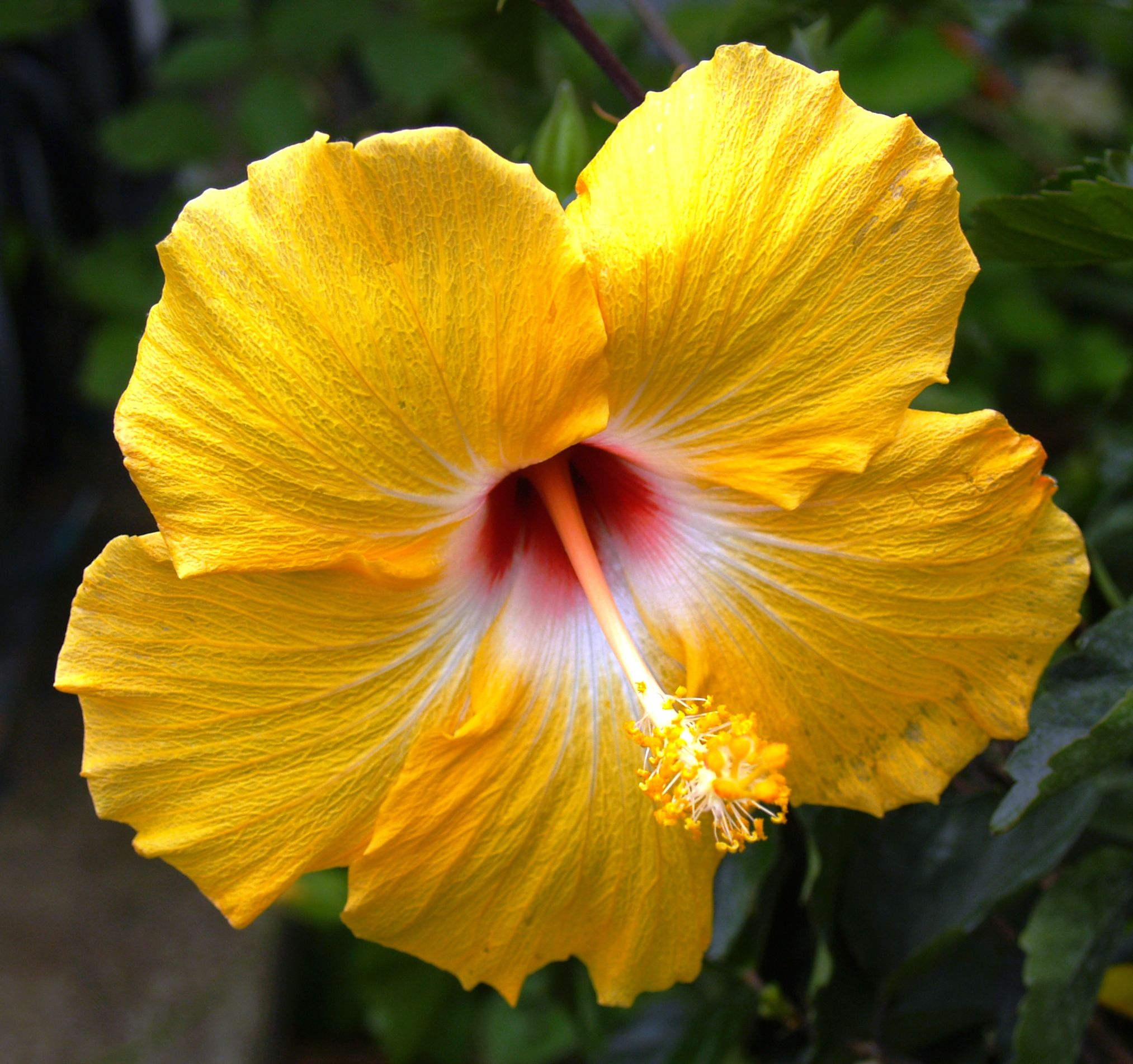 Yellow hibiscus official flower of hawaii kauai hawaii 2012 yellow hibiscus official flower of hawaii izmirmasajfo Choice Image