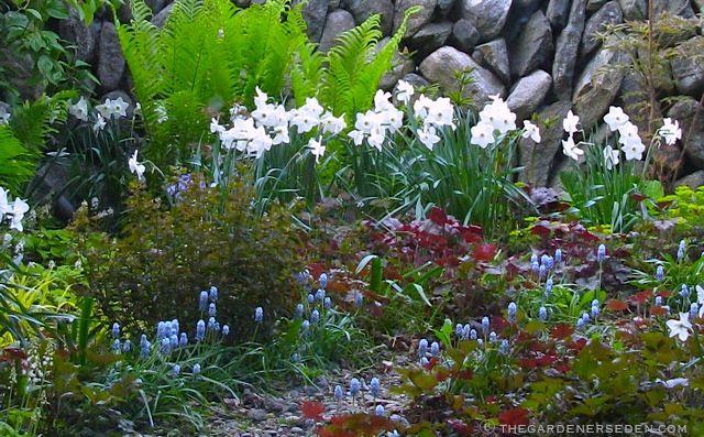 Secrt Garden Spring - narcissus-muscari-heuchra-ferns-secret-garden ⓒ Michaela at TGEjpg