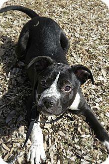 Texas Heeler Breeder Near Amarillo Dallas Heeler Puppies Heeler
