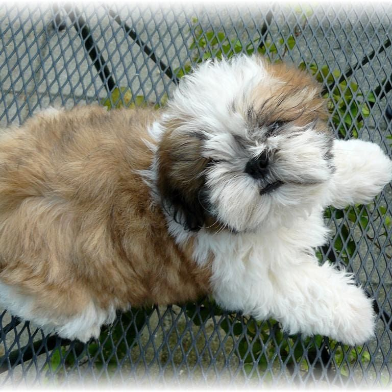 Tag Someone Who Lives This Gorgeous Baby Shihtzu