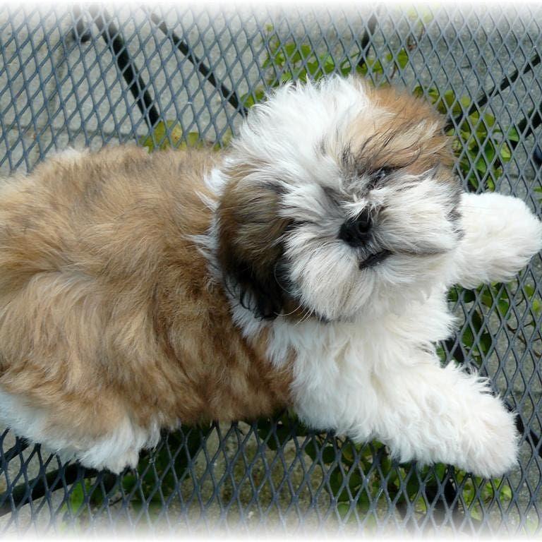 Pin By Isadora On Peludos Shih Tzu Puppy Shih Tzu Cutest Small