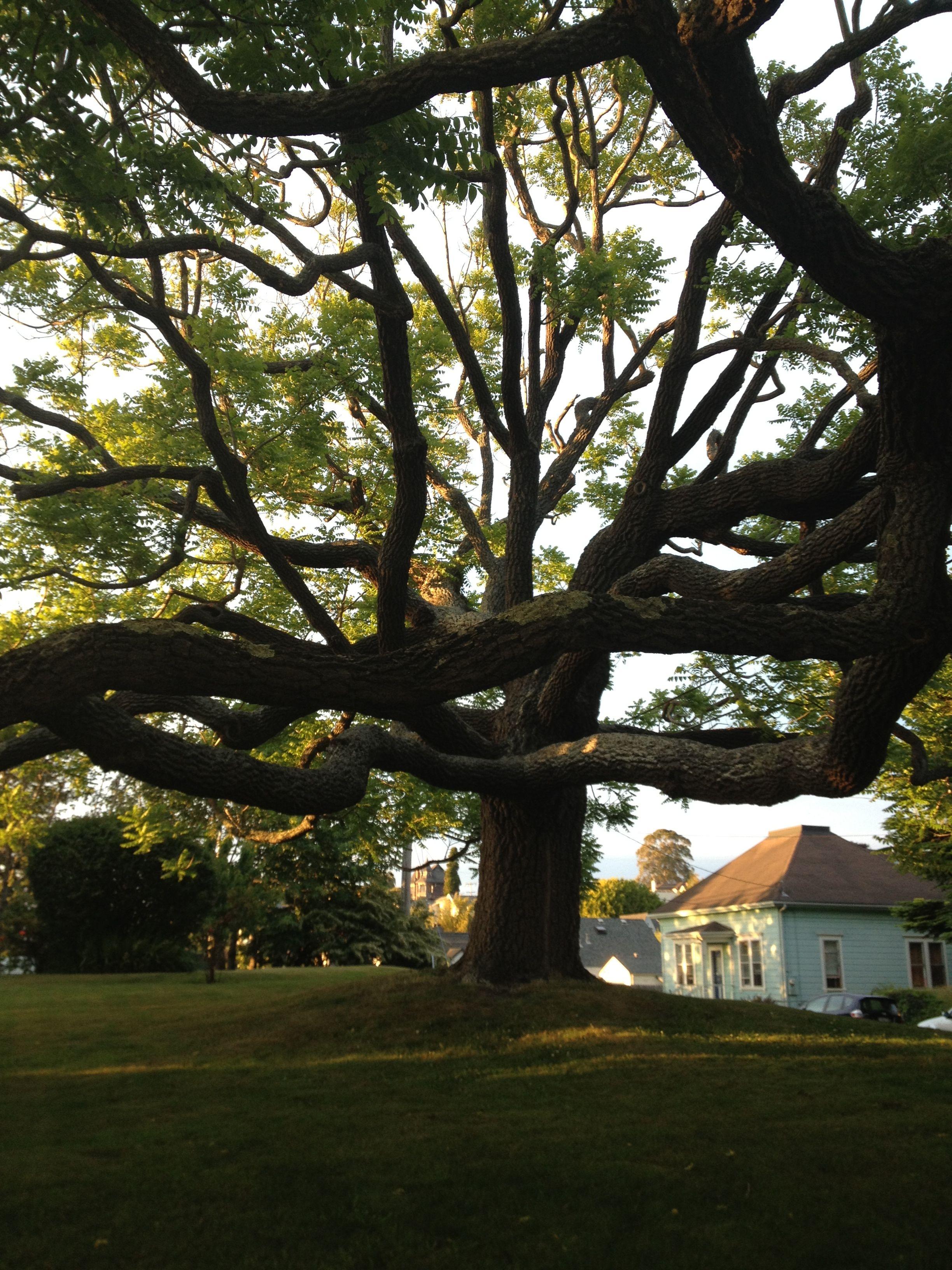 J st arcata Arcata, Tree