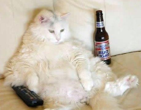a fat cat drinking bear